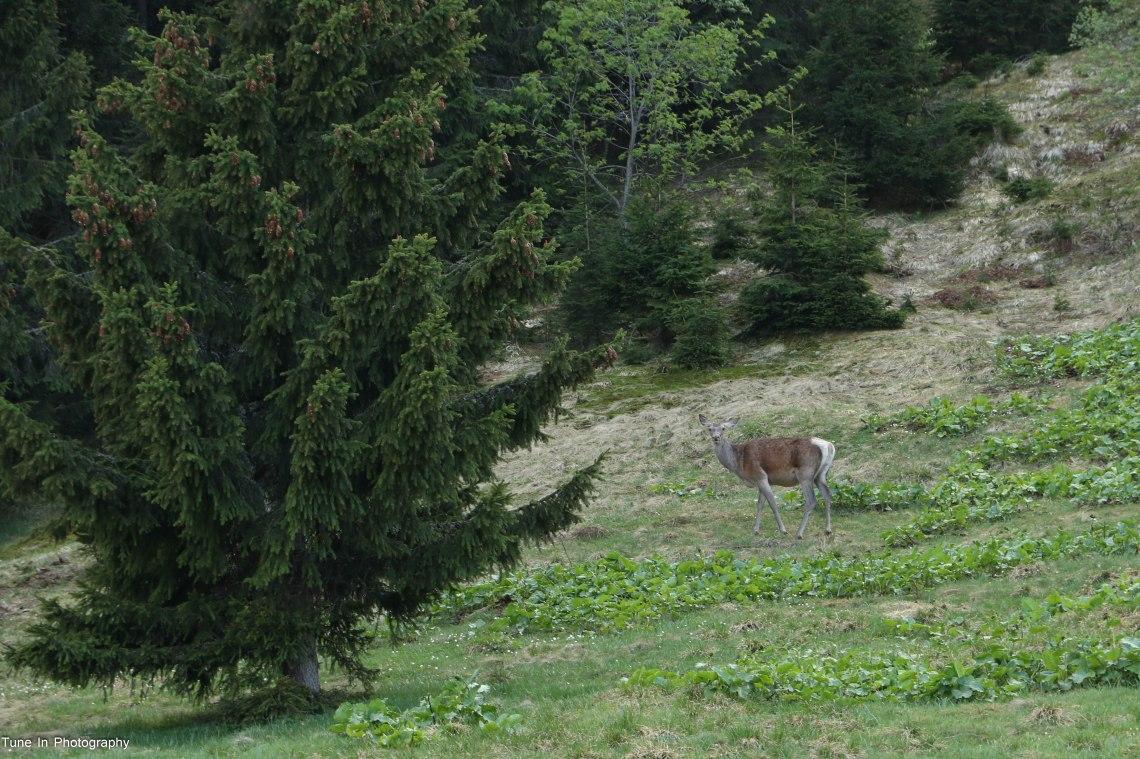 48. Urlea deer